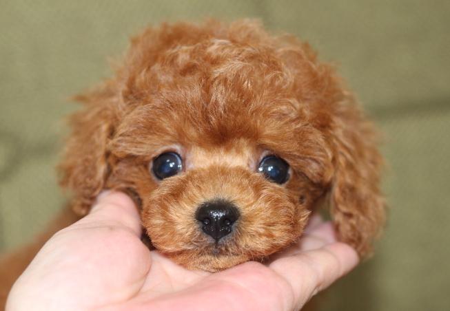 トイプードル 子犬 ブリーダー